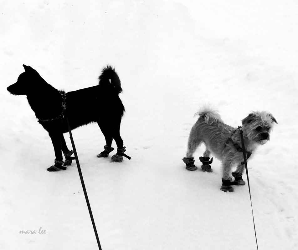snow-dogs-copy