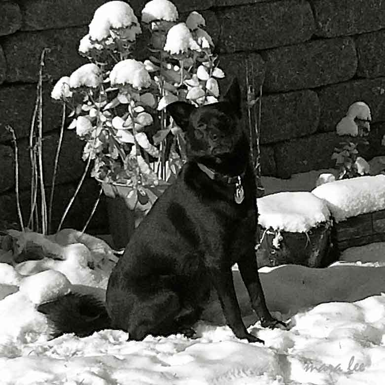black-dog-winter