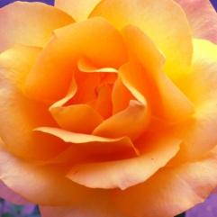 poppa bobs rose