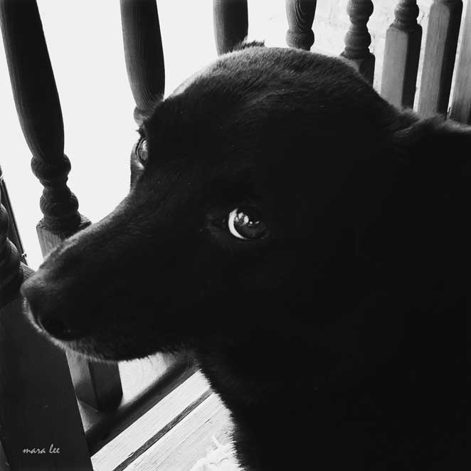 black-dog-jake
