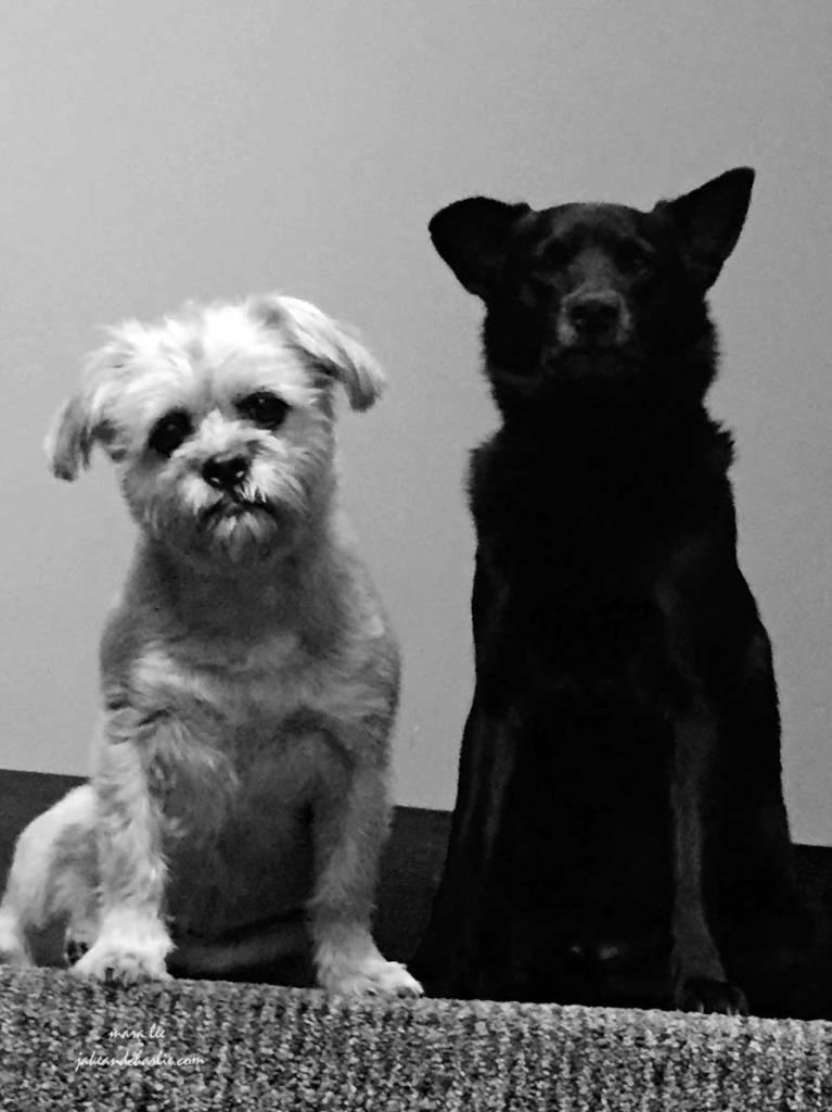 jakeandcharlie-dogs